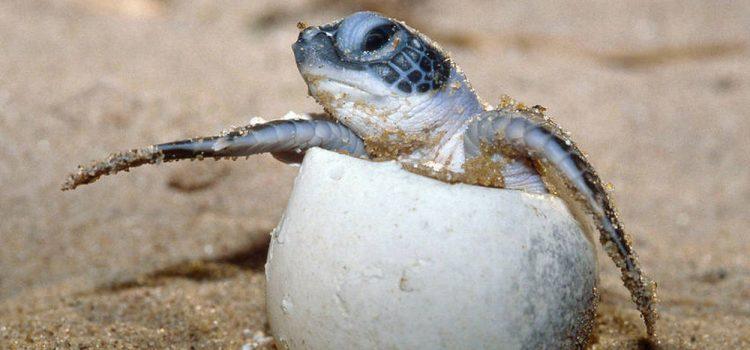 Confinement : une espèce rare de tortue s'épanouit en Thaïlande